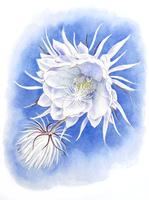 月下美人 20084000056| 写真素材・ストックフォト・画像・イラスト素材|アマナイメージズ