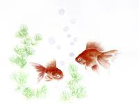 金魚 20084000057| 写真素材・ストックフォト・画像・イラスト素材|アマナイメージズ