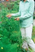 畑でハーブとフェンネルを摘む女性