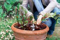 苗を植える女性