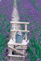 ラベンダー畑の中の木製のイスと如雨露