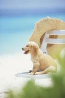 麦わら帽子を掛けた白いイスに座る子犬
