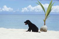 砂浜の黒い子犬(ラブラドールレトリバー)とヤシの実 21003000214| 写真素材・ストックフォト・画像・イラスト素材|アマナイメージズ