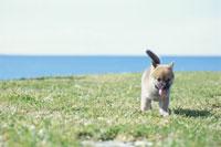 野原で遊ぶ子犬(柴犬)