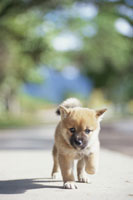 道を歩く子犬(柴犬)