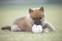 野球のボールをかむ子犬(柴犬)