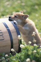 樽を噛む子犬(柴犬)