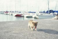 ヨットハーバーで舌を出して歩く子犬(柴犬)