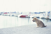 ヨットハーバーで海を見る子犬(柴犬)