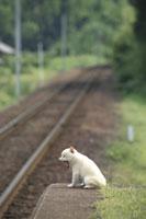 駅のホームであくびをする子犬(柴犬)