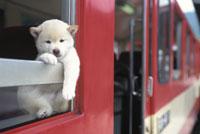 電車の窓から足を出す子犬(柴犬)