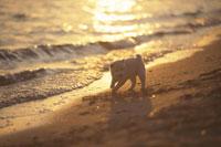 波打ち際で遊ぶ子犬(柴犬) 21003000259| 写真素材・ストックフォト・画像・イラスト素材|アマナイメージズ