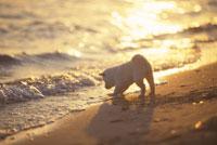 波打ち際で遊ぶ子犬(柴犬)