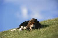草原に横たわる犬(ビーグル)と青い空