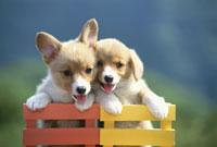 イスの背に前足をかけて立つ2匹の犬(コーギー) 21003000275| 写真素材・ストックフォト・画像・イラスト素材|アマナイメージズ