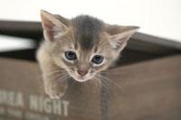 木箱の中から顔を出している猫(アビシニアン)