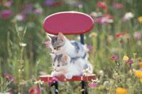 花畑で赤いイスに横たわる2匹の猫(日本猫)