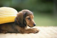 黄色の帽子を背に乗せて横たわる茶色の犬