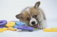 犬(コーギー)とアルファベットのおもちゃ