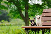ベンチの上の犬5匹(チワワ)