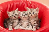 3匹の猫(アメリカンショートヘアー)