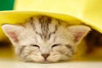 帽子の下の猫(アメリカンショートヘアー)