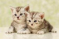 2匹の子猫(アメリカンショートヘアー)