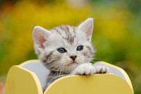 箱に入った猫(アメリカンショートヘアー)