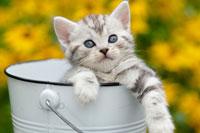 缶に入った猫(アメリカンショートヘアー)