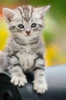 子猫(アメリカンショートヘアー)