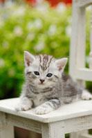 椅子の上の猫(アメリカンショートヘアー)