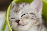 眠る子猫(アメリカンショートヘアー)