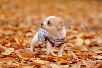 犬(チワワ) 21003000833| 写真素材・ストックフォト・画像・イラスト素材|アマナイメージズ
