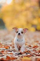 犬(チワワ)