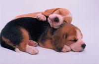 重なって眠るビーグルの子犬
