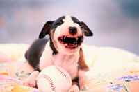 野球ボールを抱えたブルテリアの子犬