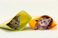 封筒の中のアメリカンショートヘアの仔猫 21003000894| 写真素材・ストックフォト・画像・イラスト素材|アマナイメージズ
