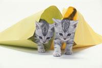 封筒の中から出てくる仔猫(アメリカンショートヘア)2匹