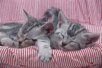 眠る猫(アメリカンショートヘアー)2匹