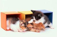 カラーボックスの中の仔猫3匹 21003000904| 写真素材・ストックフォト・画像・イラスト素材|アマナイメージズ