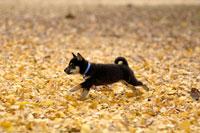柴犬 21003001301| 写真素材・ストックフォト・画像・イラスト素材|アマナイメージズ