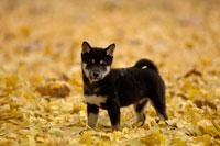 柴犬 21003001308| 写真素材・ストックフォト・画像・イラスト素材|アマナイメージズ