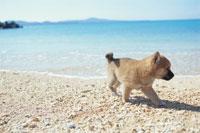 波打ち際の柴犬 21003001750| 写真素材・ストックフォト・画像・イラスト素材|アマナイメージズ