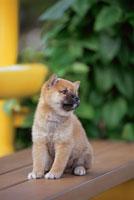 ベンチの上の柴犬