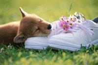 スニーカーの上で寝る柴犬