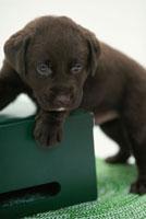 緑箱の上のラブラドールレトリバー 21003001843| 写真素材・ストックフォト・画像・イラスト素材|アマナイメージズ