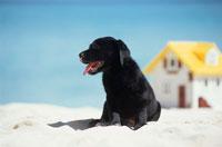 ビーチのラブラドールレトリバーと家 21003001846| 写真素材・ストックフォト・画像・イラスト素材|アマナイメージズ