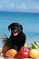 ビーチのラブラドールレトリバーとフルーツ 21003001847| 写真素材・ストックフォト・画像・イラスト素材|アマナイメージズ