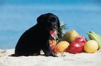 ビーチのラブラドールレトリバーとフルーツ 21003001848| 写真素材・ストックフォト・画像・イラスト素材|アマナイメージズ