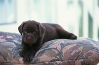 ソファの上のラブラドールレトリバー 21003001852| 写真素材・ストックフォト・画像・イラスト素材|アマナイメージズ